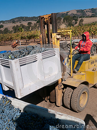Worker manning forklift with grapes at vinery Editorial Image