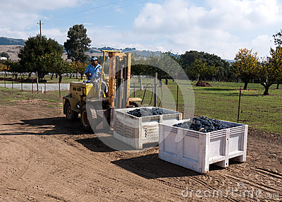 Worker manning forklift with grapes at winery Editorial Stock Image