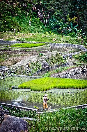 Worker in rice paddies at ifugao,batad Editorial Stock Photo