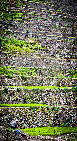 Worker in rice paddies at ifugao,batad 2 Editorial Photo