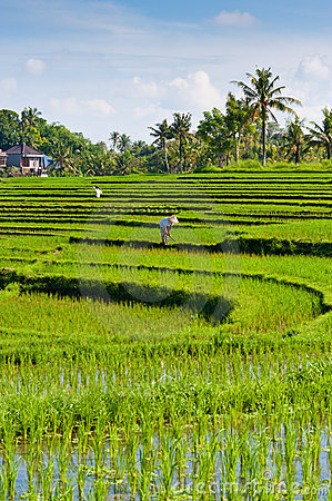 Worker in Rice Terrace - Bali