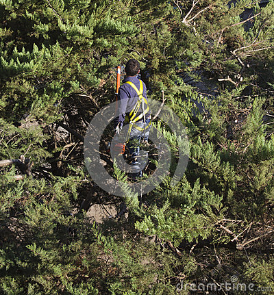 Pruner at work on a tree