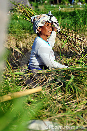 Workers in harvest rice Editorial Photo