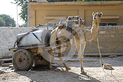 Working Camel, India