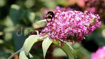 Working Earth bumblebee upon in Buddleja flower. The Bombus terrestris, buff-tailed bumblebee or large earth bumblebee is the largest of the European bumblebee stock video footage