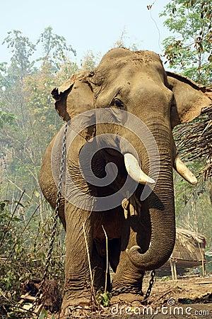 Free Working Elephant, Myanmar Stock Photo - 85755900