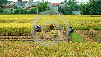 Working in fields Editorial Stock Image