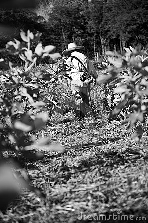 Working in a Fig Plantation