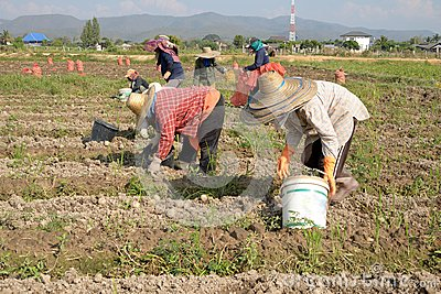 Working on a potato field with thai farmer. Editorial Stock Image