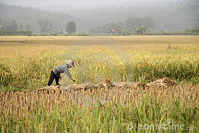 Working in the rice field