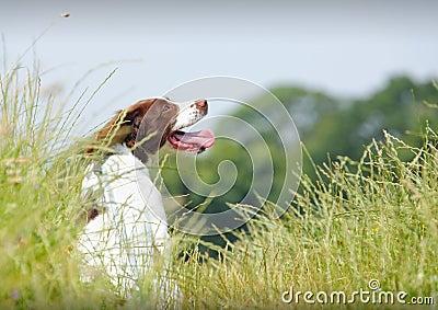Working Springer Spaniel dog
