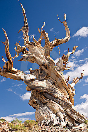 Free World S Oldest Tree: The Bristlecone Pine Royalty Free Stock Images - 18304009