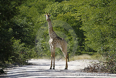 Worlds Tallest Mammal; Reticulated Giraffe