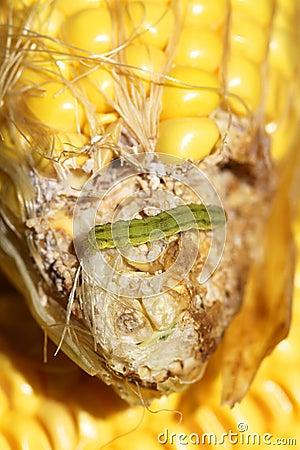 Worm on maize