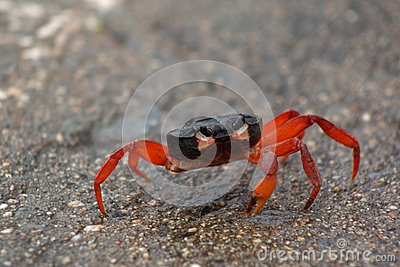 Wounded red crab