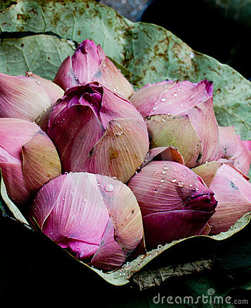 Wrapped bunch of pink Lotus Blossom Buds