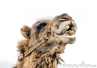 Wrestler camel
