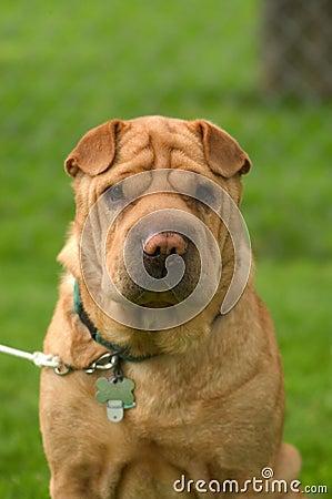 Free Wrinkled Dog Royalty Free Stock Photos - 5108