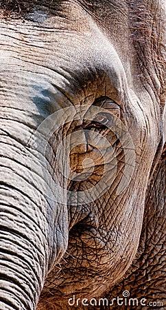 Wrinkled elephant face