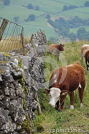 Wsi krów anglików ogrodzenia trawy pasanie