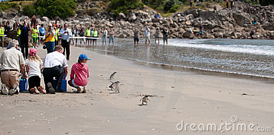 WWF penguin release, New Zealand. Editorial Stock Photo