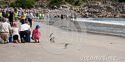 WWF penguin release, New Zealand. Editorial Stock Photo