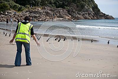 WWF penguin release, New Zealand. Editorial Image