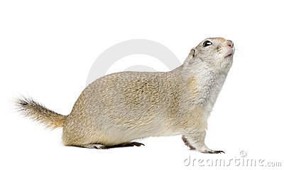 Wyoming Ground Squirrel - Spermophilus elegans (3