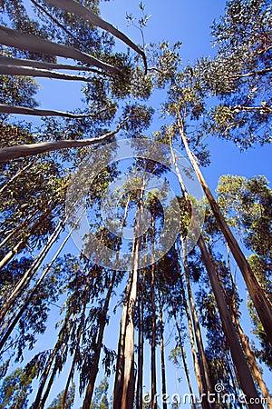 Wysocy drzewa