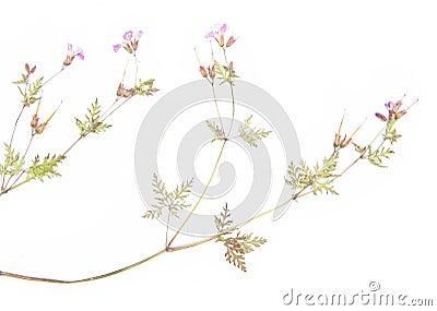 Wysuszone flory