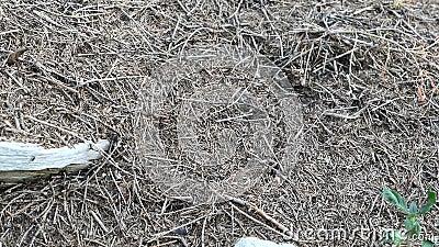 Wzgórze mrówek leśnych w pełnej ramie zdjęcie wideo