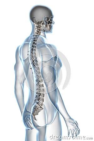 Free X-ray Anatomy On White Royalty Free Stock Photo - 10124725