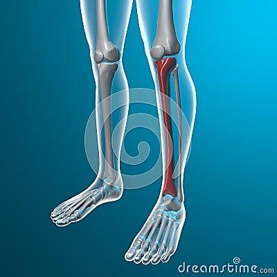 X-ray of human legs, tibia bone