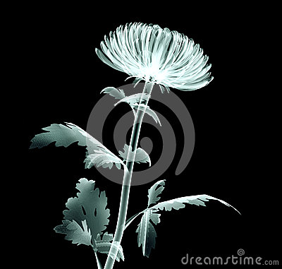 Free X-ray Image Flower Isolated On Black , The Pompon Chrysanthemum Royalty Free Stock Photography - 61034507