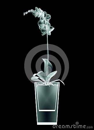 Free X-ray Image Of A Flower Isolated On Black , The Orchide Stock Photography - 61029992