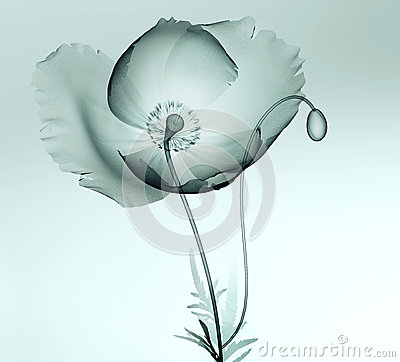 Free X-ray Image Of A Flower Isolated On White , The Poppy Royalty Free Stock Photo - 61031405