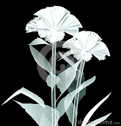 Free X-ray Image Of A Flower On Black , The Coxcomb Stock Images - 61025634