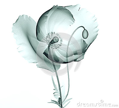 Free X-ray Image Of A Flower On White , The Poppy Stock Photos - 61025673