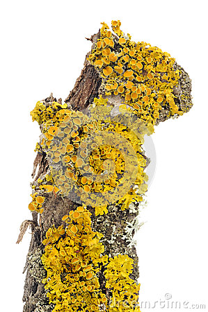 Free Xanthoria Parietina (Golden Shield Lichen) Close-Up On Tree Bark Royalty Free Stock Image - 41842466