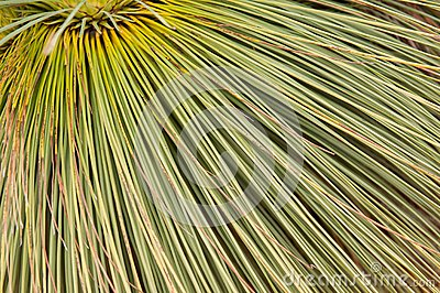 Xanthorrhoea, Australian native tree