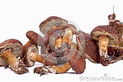 Xerocomus badius mushrooms isolated on white