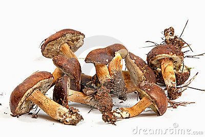 Xerocomus badius mushrooms isolated on white