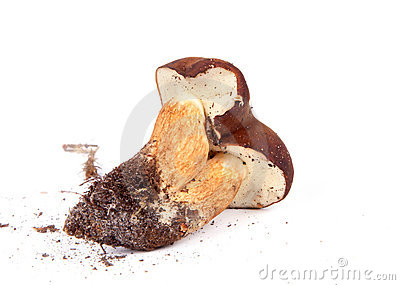 Xerocomus badius twins mushrooms isolated on white