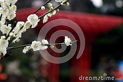 Xinzhuang Park plum