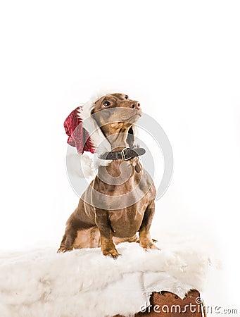 Xmas dog isolated