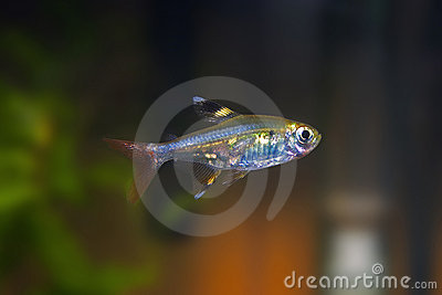 Xray Tetra Tropical Fish