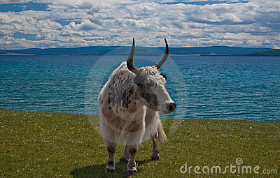 Yak Royalty Free Stock Photos - Image: 17548358