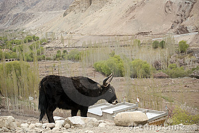 Yak, Basgo, Ladakh, India