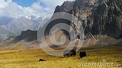 Yak de Asia Central. El tebet casero yak en una pastura almacen de metraje de vídeo