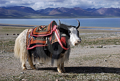 The yak, Tibet and lake.